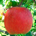 yataka 150x150 - Сорт яблони Фуджи Ятака