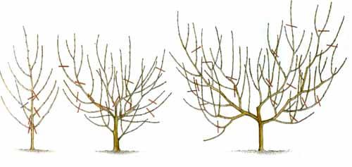 Правильная обрезка персика, формировка Чашевидная