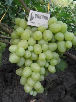 arkadiya - Виноград сорт Аркадия