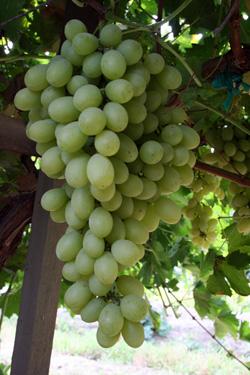 Виноград сорт Деметра
