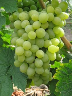 elegant - Виноград сорт Элегант