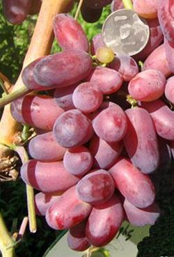 Виноград сорт Изюминка