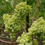 kesha 150x150 - Виноград сорт Кеша-1