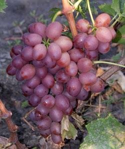 liviya - Виноград сорт Ливия