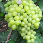 lora 150x150 - Виноград сорт Лора (Флора)