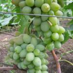 podarok ukrainy 150x150 - Виноград сорт Подарок Украины