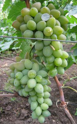 podarok ukrainy - Виноград сорт Подарок Украины