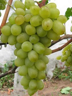 Сорт винограда Подарок Запорожью - fo 26