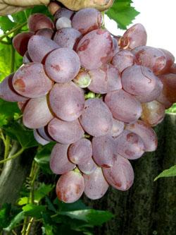 Виноград сорт Прометей