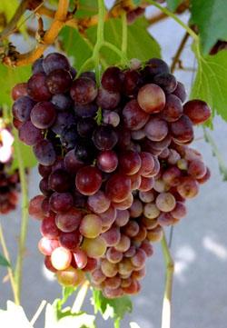 Виноград сорт Ризамат Устойчивый