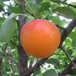 фото абрикоса робада