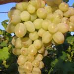 rozovaya dymka 150x150 - Виноград сорт Розовая Дымка