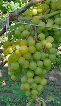 Виноград сорт Тигин