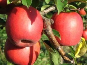 rosy glow 300x225 - Сорт яблони Рози Глоу