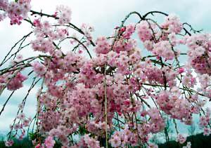 Вишня плакучая цветет
