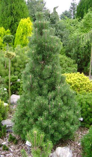 Pinusmugo_Columbo
