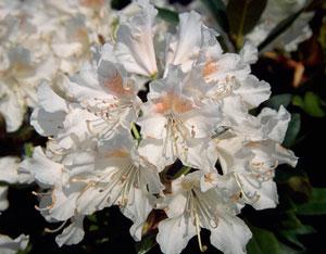 Рододендрон cunninghams white