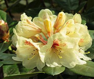Рододендрон goldbukett