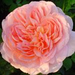 Rose Abraham Darby - Саженцы розы сорта