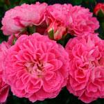 charmant - Саженцы розы сорта
