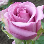 kholodnaya voda - Саженцы розы сорта