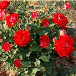 rose Caribia - Саженцы розы сорта