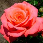 rose Shogun - Саженцы розы сорта