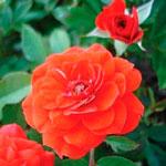 rose baby flo - Саженцы розы сорта