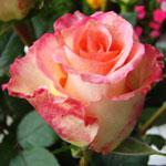 rose duet - Саженцы розы сорта