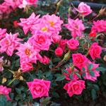 rose limes perle - Саженцы розы сорта