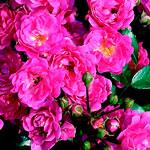 rose limestern - Саженцы розы сорта