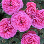rose pink - Саженцы розы сорта