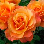 rose yellow orange spray - Саженцы розы сорта