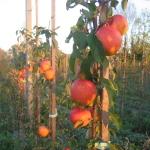 pinova 150x150 - Яблоня сорт Эвелина