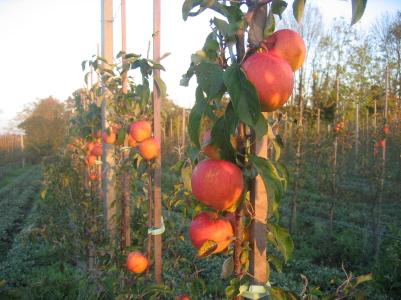 Яблоня сорт Пинова