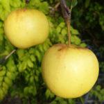 богемия голд 150x150 - Яблоня сорт Богемия Голд