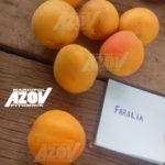 фаралиа 150x150 - Абрикос сорт FaraLia (Carmingo) Фаралиа