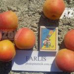 фарлис 150x150 - Абрикос сорт Farlis (Фарлис)