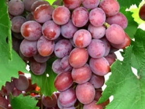 Dashunya 300x225 - Виноград сорт Дашуня
