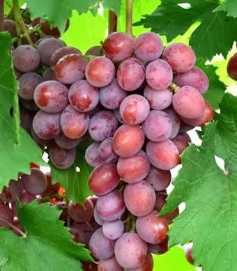 Dashunya - Виноград сорт Дашуня