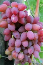 Vinograd Ubiley Herson Dachni