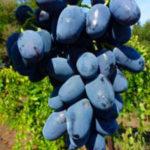 barselona 150x150 - Виноград сорт Барселона