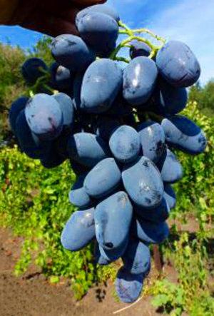 barselona - Виноград сорт Барселона