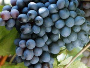 chernmonah 300x225 - Виноград сорт Черный Монах