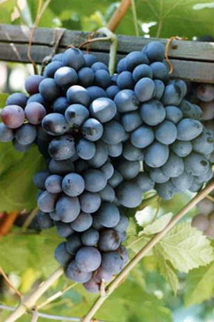 chernmonah - Виноград сорт Черный Монах