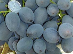 gala 300x225 - Виноград сорт Гала