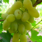 monblan 150x150 - Виноград сорт Монблан