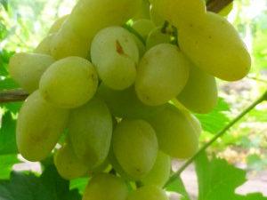 monblan 300x225 - Виноград сорт Монблан