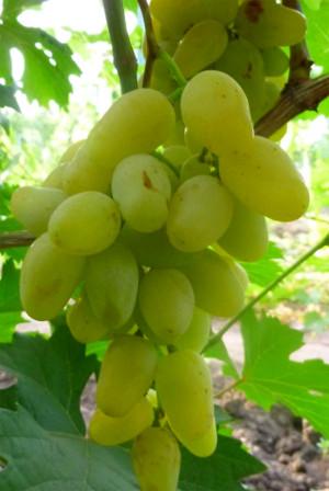 monblan - Виноград сорт Монблан