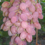 rumb 150x150 - Виноград сорт Румба